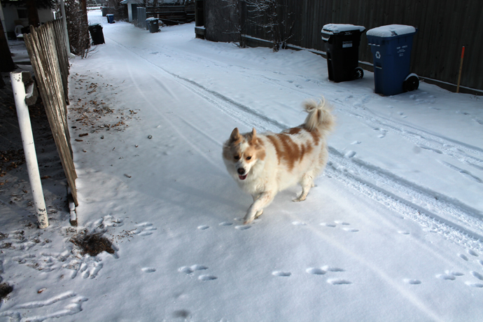 """נובה בבוקר אחרי סופת שלג. סופ""""ש ושקט, אז הנחנו לה לרוץ קצת. כאן היא בסימטה האחורית שלנו."""