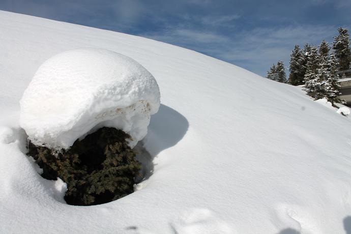 שלג על שיח מחטני. ואמילי מנסה לשכנע אותי שכדאי להוריד את השלג מהשיחים ליד החניה כי זה לא טוב להם. פחחח...