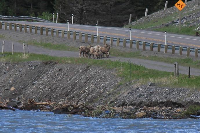 כבשי בר ליד קרואוז נסט לייק