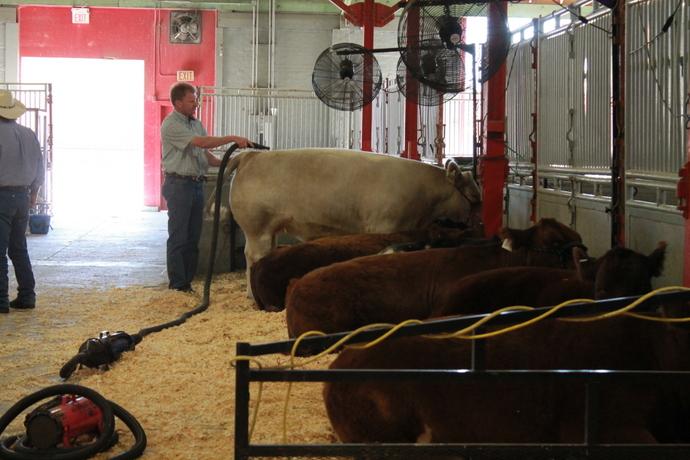 פרות מתכוננות לתחרות יופי