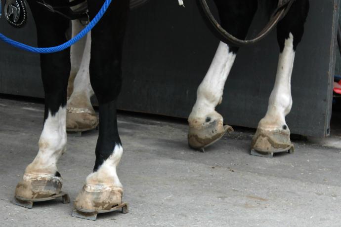 הפרזול של הסוסים המתחרים במשיכה - נועד לעזור להם לקבל אחיזה טובה יותר בעת המשיכה