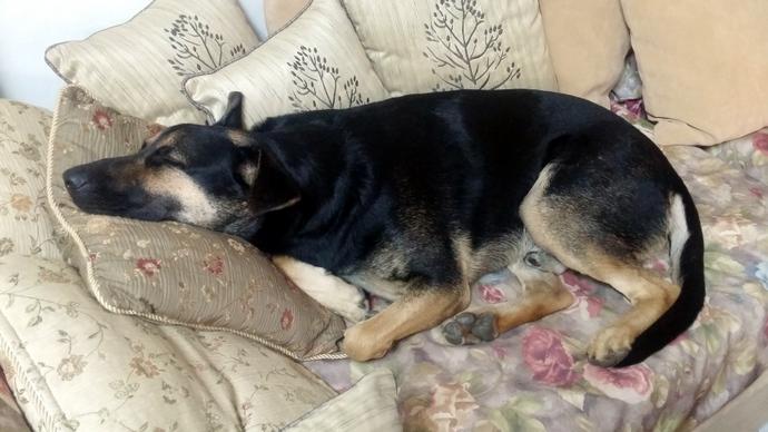 דינגו, הכלב המתוק של ההורים שלי, חי טוב